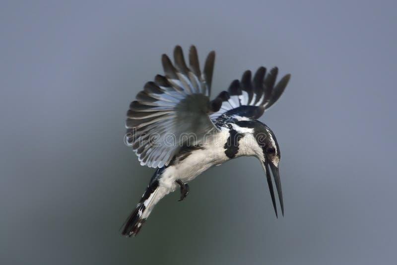 Пестрый Kingfisher завиша над водой стоковые фотографии rf