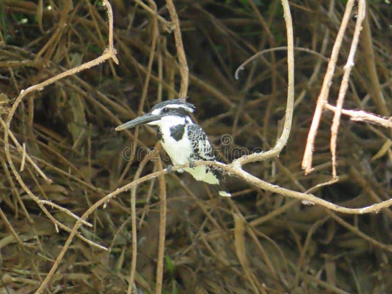Пестрый Kingfisher на Ranganathittu стоковые фотографии rf