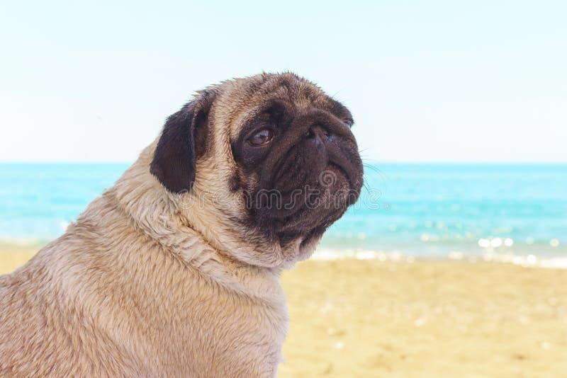 Пес-паг сидит на пляже и смотрит на море. Расслабление и расслабление Ð¿Ð стоковые изображения