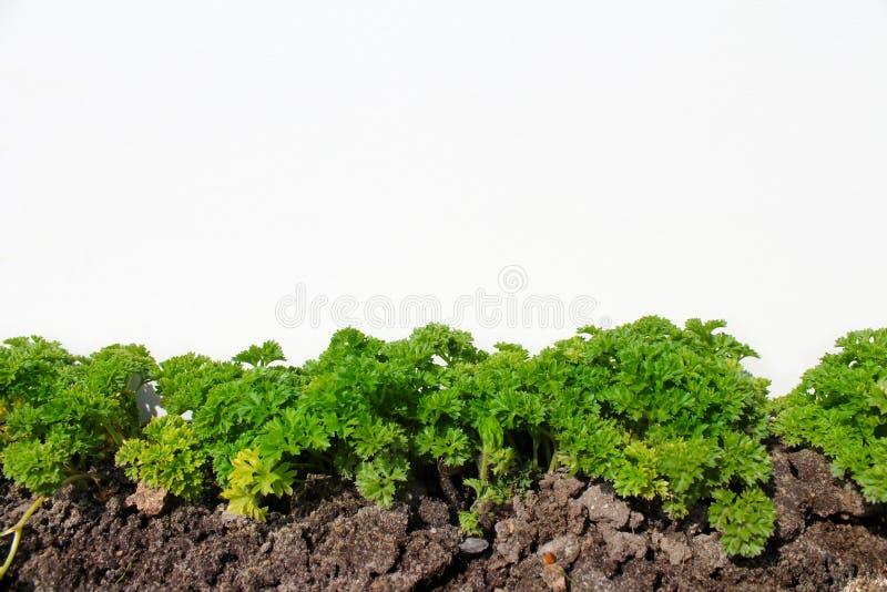петрушка в огороде изолированном на белизне стоковое фото rf