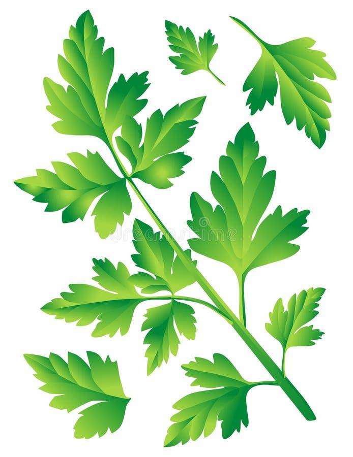 петрушка листьев бесплатная иллюстрация