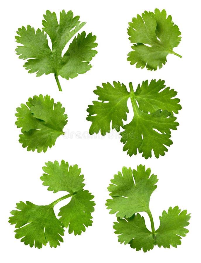 петрушка cilantro стоковое изображение