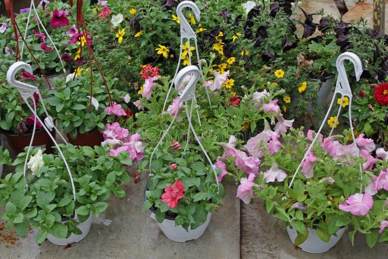 петунья Красочные цветки весны и лета в баках смертной казни через повешение в парнике Покрашенные петуньи в баках Цветочный узор стоковые фото