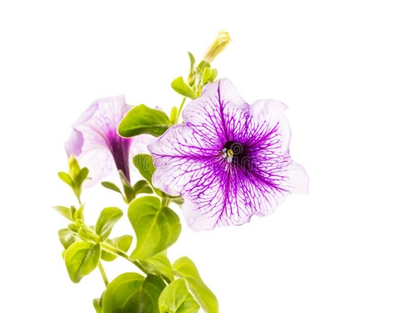 Петунья цветка стоковое изображение rf