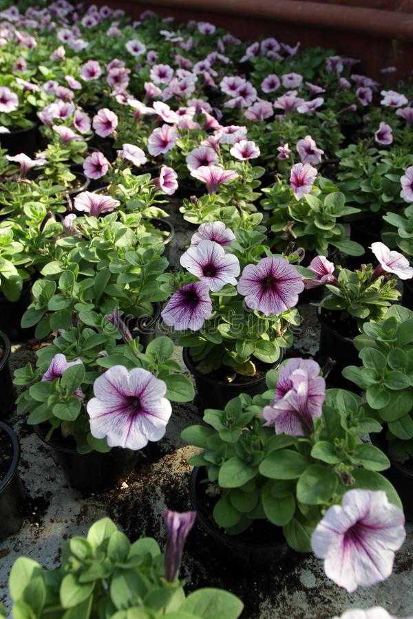 петунья Field с цветками весны и лета в баках смертной казни через повешение в парнике Покрашенные петуньи в баках Цветочный узор стоковая фотография