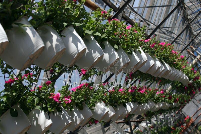 петунья Field с цветками весны и лета в баках смертной казни через повешение в парнике Покрашенные петуньи в баках Цветочный узор стоковые изображения rf