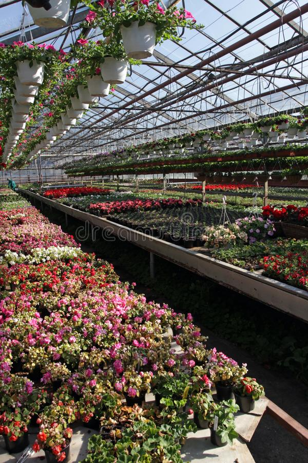 петунья Field с цветками весны и лета в баках смертной казни через повешение в парнике Покрашенные петуньи в баках Цветочный узор стоковое изображение rf