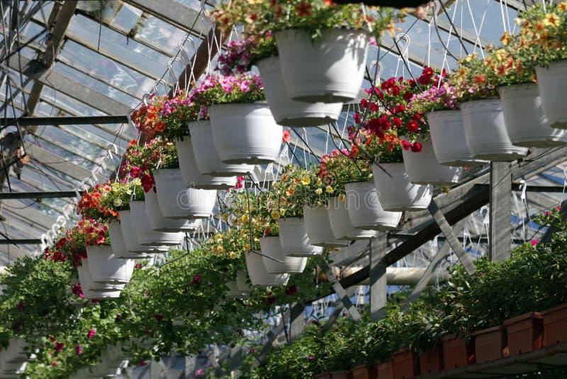 петунья Field с цветками весны и лета в баках смертной казни через повешение в парнике Покрашенные петуньи в баках Цветочный узор стоковые изображения