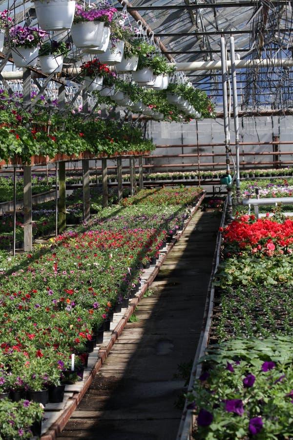 петунья Field с цветками весны и лета в баках смертной казни через повешение в парнике Покрашенные петуньи в баках Цветочный узор стоковое изображение