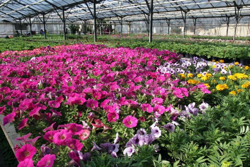 петунья Field с цветками весны и лета в баках смертной казни через повешение в парнике Покрашенные петуньи в баках Цветочный узор стоковые фото