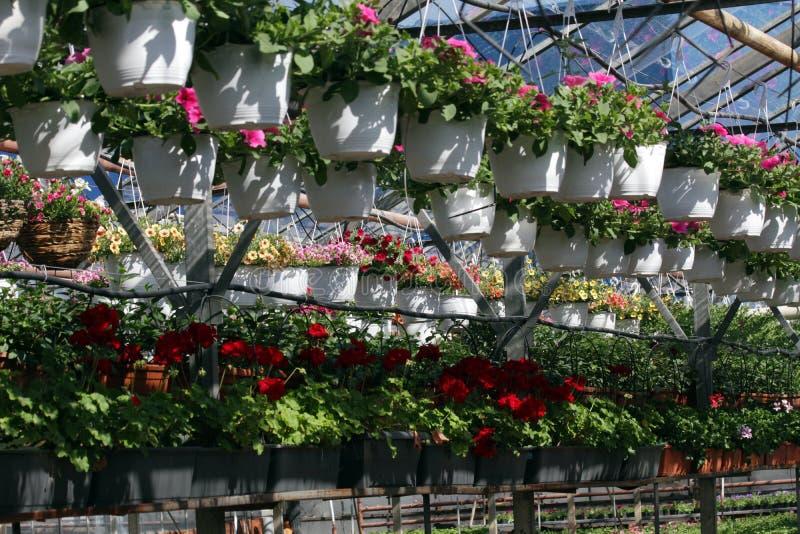 петунья Field с цветками весны и лета в баках смертной казни через повешение в парнике Покрашенные петуньи в баках Цветочный узор стоковая фотография rf