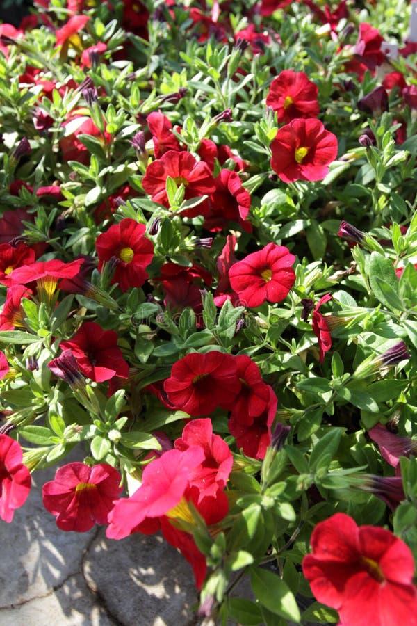 петунья Field с цветками весны и лета в баках смертной казни через повешение в парнике Покрашенные петуньи в баках Цветочный узор стоковые фотографии rf