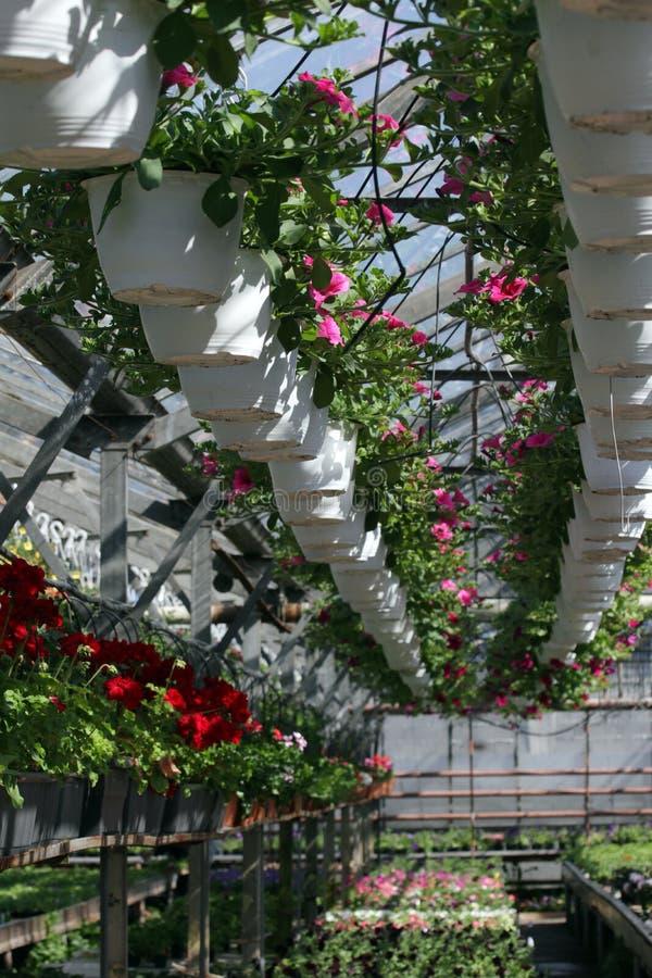 петунья Field с цветками весны и лета в баках смертной казни через повешение в парнике Покрашенные петуньи в баках Цветочный узор стоковое фото rf
