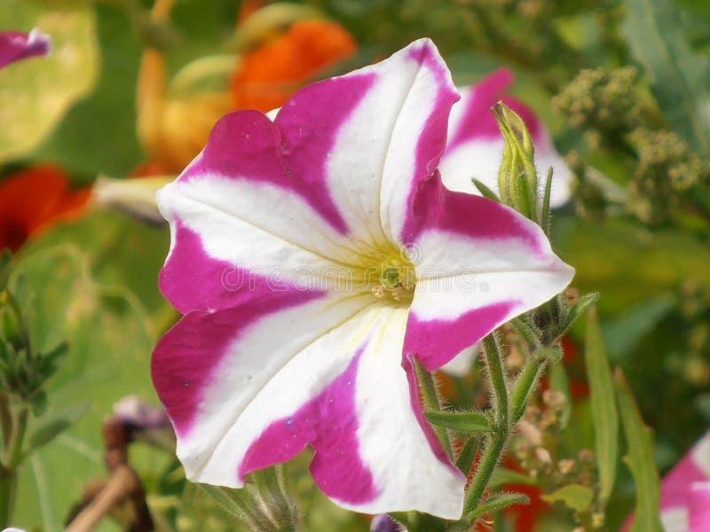 Петунья striped цветком розовая белая стоковая фотография