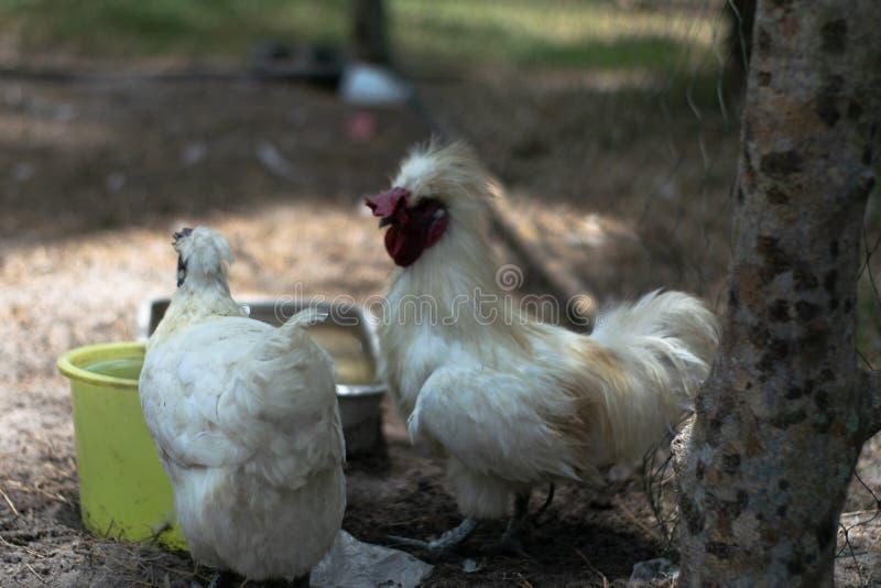 Петух и женский цыпленок едят еду стоковые фотографии rf