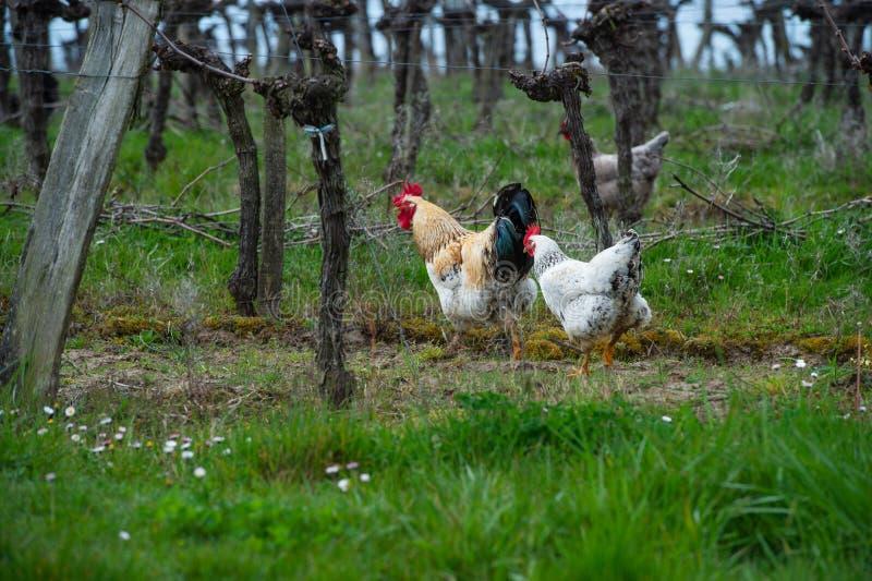 Петух и курица на традиционной свободной птицеферме ряда в виноградниках стоковое изображение