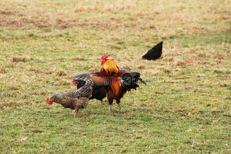 Петух и курицы стоковое изображение rf
