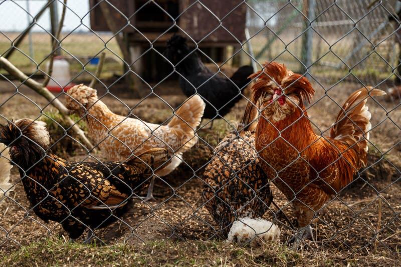 Петушок с курицами в клетке стоковые изображения