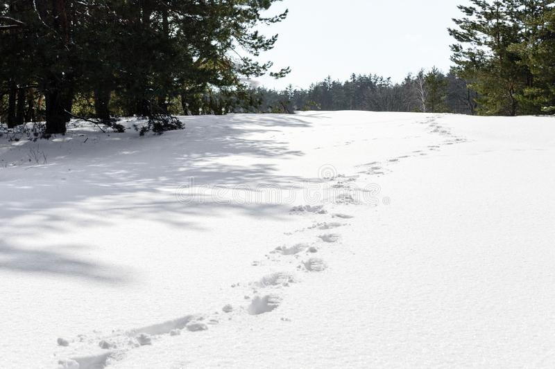 Печати ноги в снеге показанном в предпосылке зимы леса стоковая фотография rf