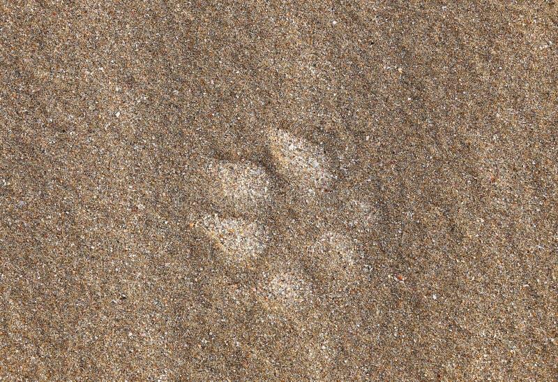 Печать лапки в песке стоковое фото rf