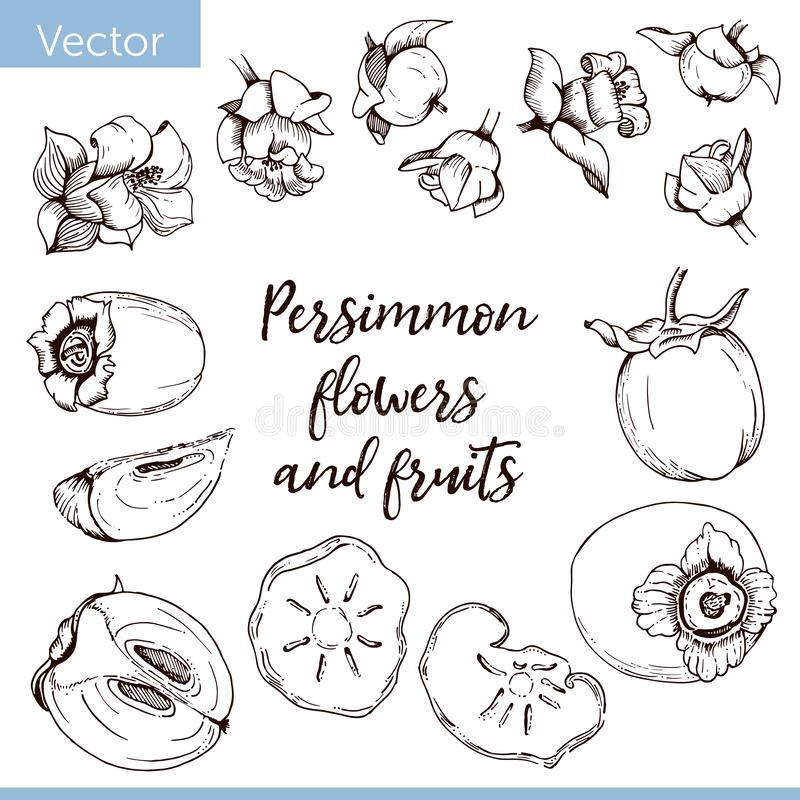 Set of vector elements. Persimmon flowers and fruits. Monochrome graphic drawing royalty free illustration