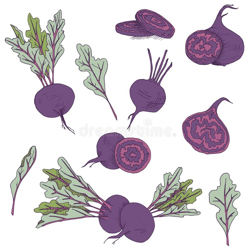 Vector clip art set of beet roots. isolated purple vegetables on white background. Vector clip art set of beetroots. isolated purple vegetables on white royalty free illustration