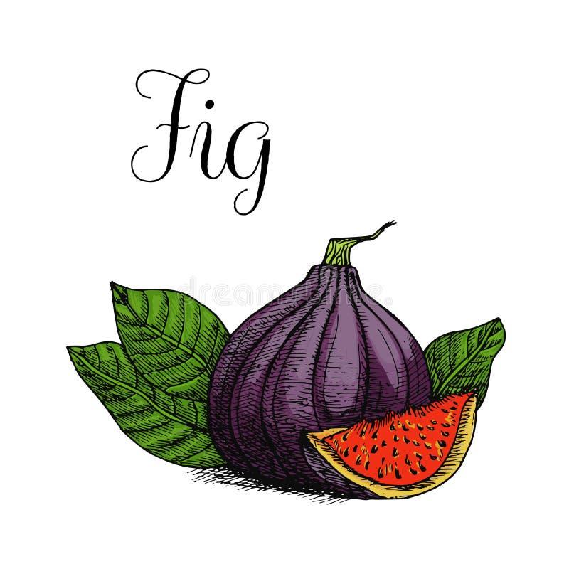 Hand drawn colored illustration of fig vector illustration