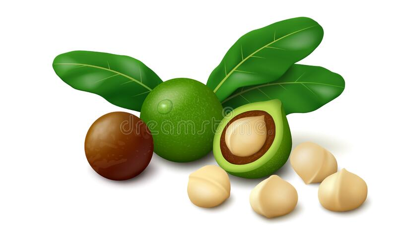 Macadamia nuts with leaves, isolated on white background royalty free stock images