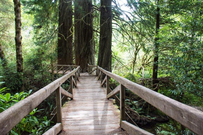Пешая тропа через лес старого роста в национальном парке Redwood в Калифорния стоковое изображение