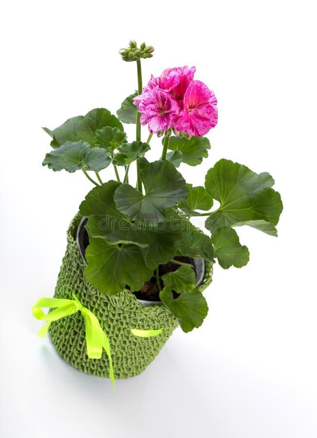 Пеларгония в цветочном горшке изолированном на белизне стоковые фотографии rf
