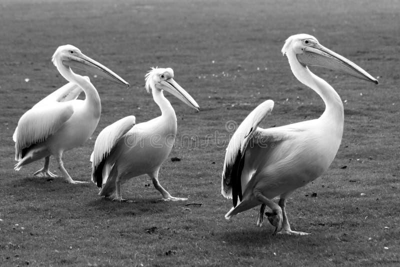 3 пеликана, птицы стоковые изображения