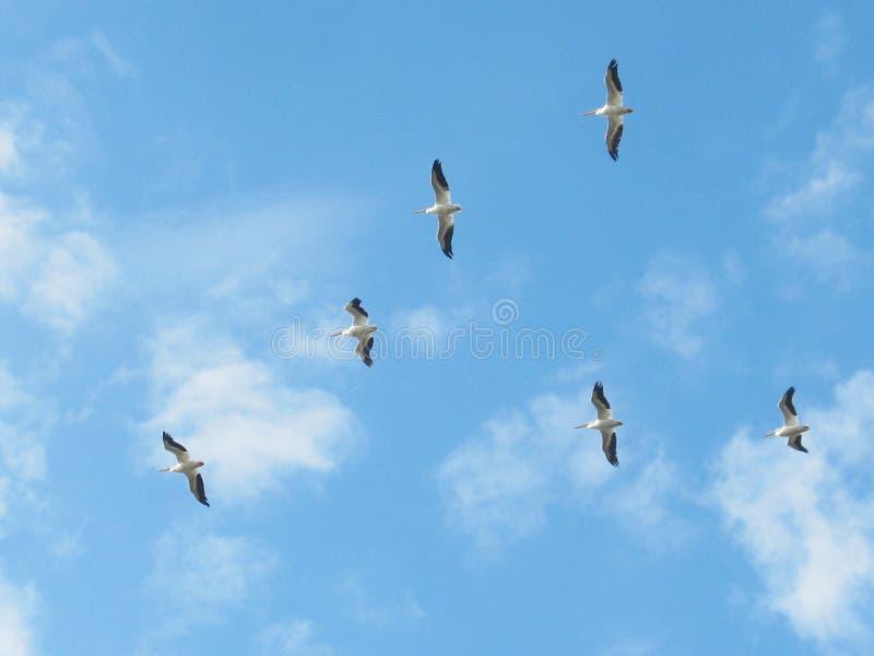 пеликаны белые стоковые фото