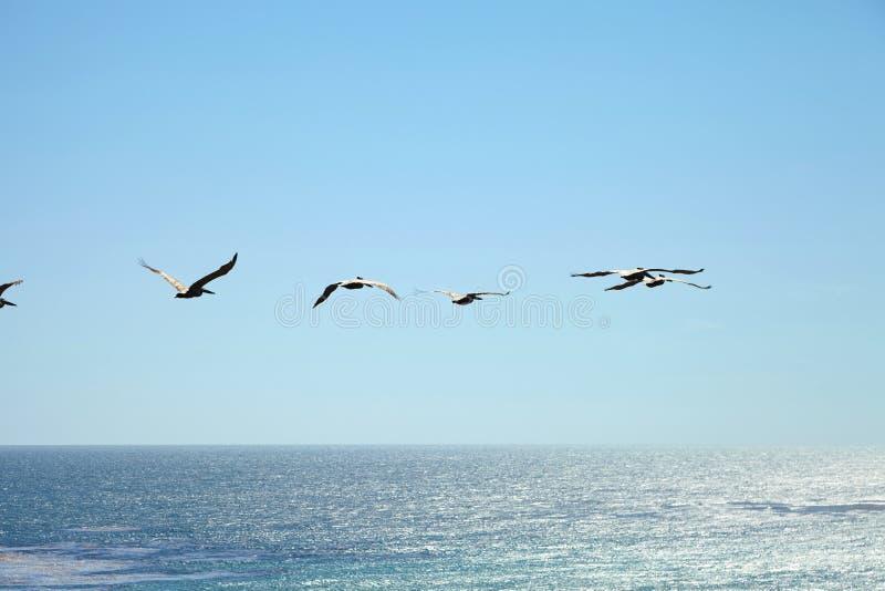 Пеликаны Брайна летая над океаном стоковая фотография rf
