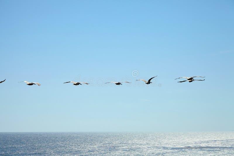 Пеликаны Брайна летая над океаном стоковые изображения