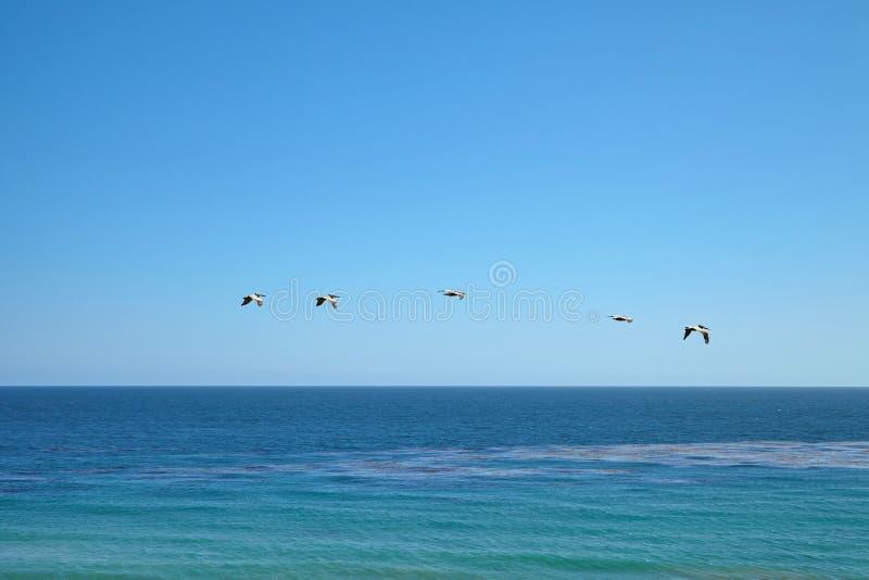 Пеликаны Брайна летая над океаном стоковые фото