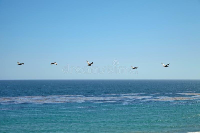 Пеликаны Брайна летая над океаном стоковая фотография