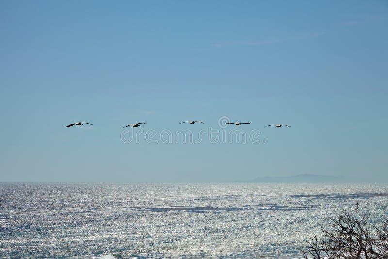 Пеликаны Брайна летая над океаном стоковое фото