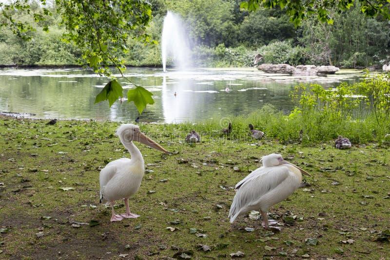 Пеликаны в парке St James, Лондоне, Англии стоковое изображение