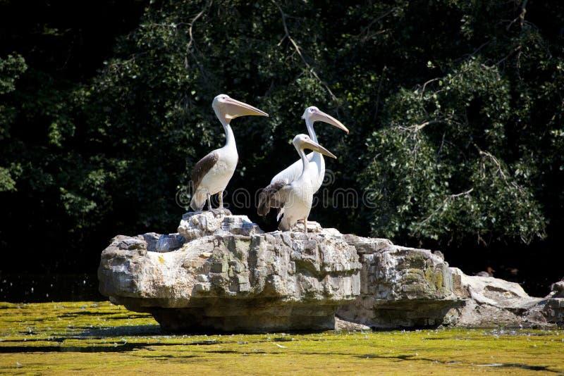 Пеликаны в парке St James стоковое изображение