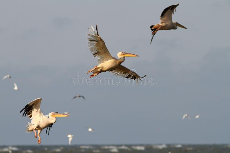 Пеликаны летая в образование стоковые фото