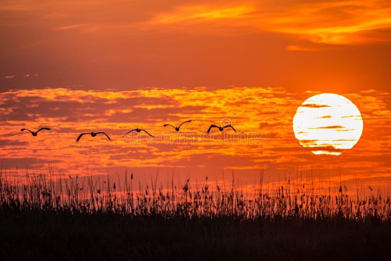 Пеликаны летая на восход солнца в перепаде Dunarii стоковые изображения