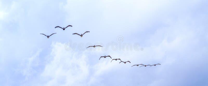 Пеликаны летая под темные облака стоковые фотографии rf