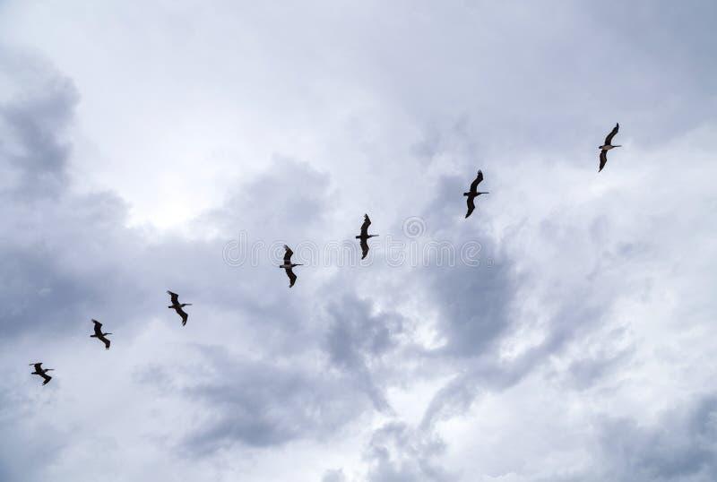 Пеликаны летая под темные облака стоковые изображения