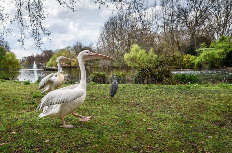Пеликаны парка стоковое фото rf