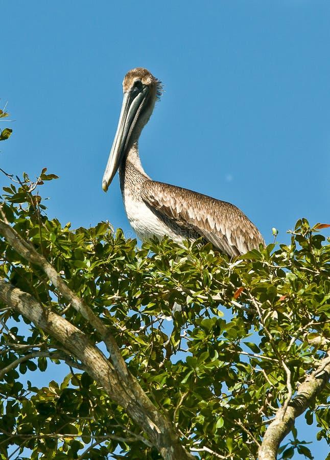 Пеликан Брайна в дереве стоковые изображения rf