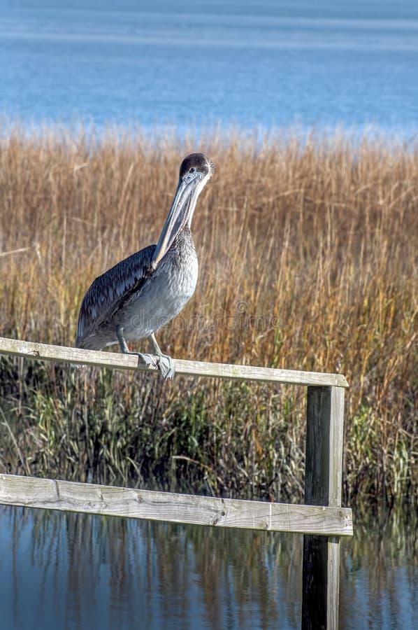 Пеликан в болотое стоковые фотографии rf