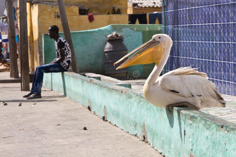 Пеликан в ofSaint Луис города, Сенегале, Африке стоковые фотографии rf