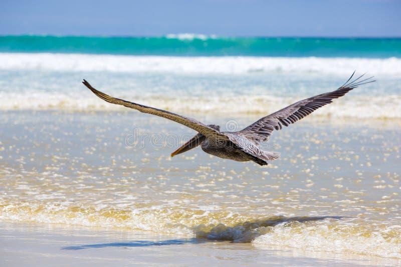 Пеликан летая над пляжем в Галапагос стоковая фотография