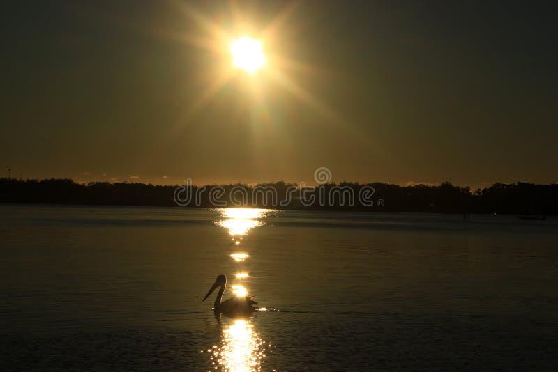 Пеликан и восход солнца стоковое изображение rf