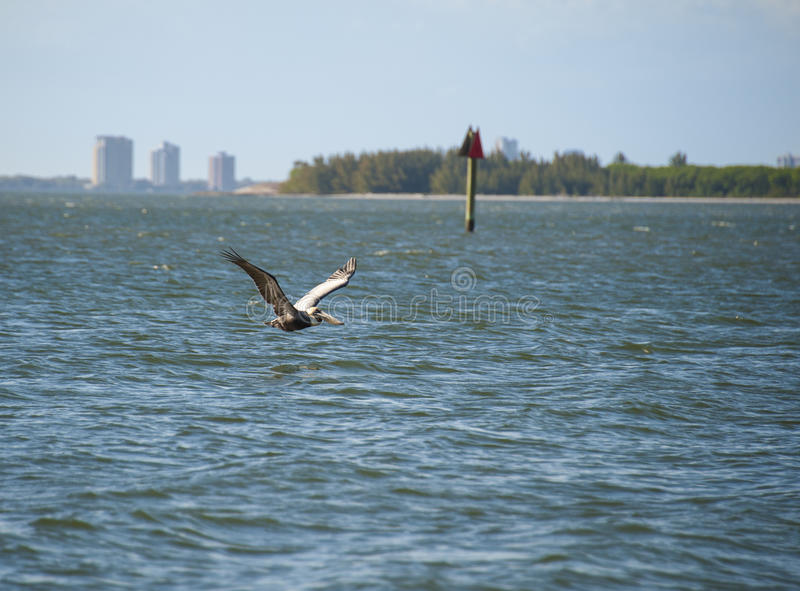 Пеликан курсируя Tampa Bay Брайна стоковые изображения rf